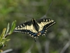 anise-swallowtail1