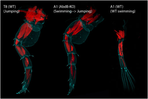 Abd-B KO gives a near complete transformation of the underlying musculature (Cyan = autofluorescence, Red = Phalloidin)