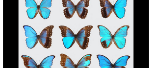 Nipam's Blue Morpho gynandromorph featured on Cell Press, Science Friday