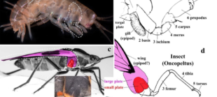 New post on bioRxiv! Insect wings and body wall evolved from ancient leg segments